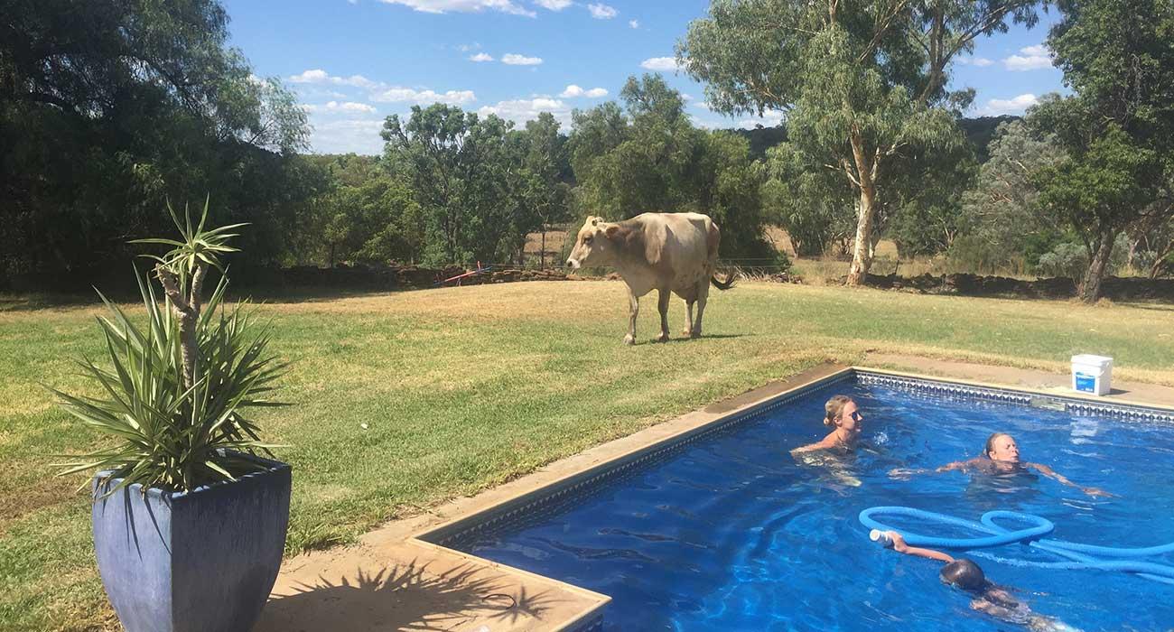 Vaca cerca de la pileta